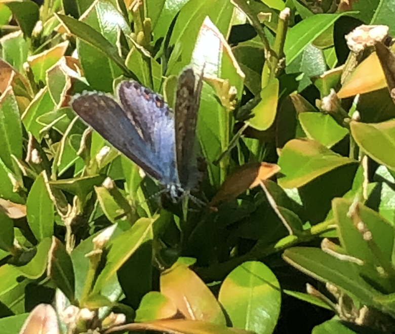 Common Blue Butterly on a bush