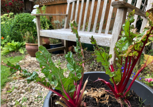 Tatty chard plants in pot