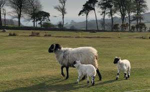 Ewe and lamb in field